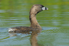 Pied-billed Grebe Royalty Free Stock Photography