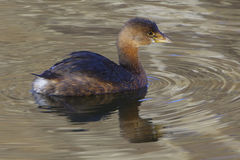 Pied-billed Grebe. Taken at Chesapeake and Ohio Canal National Historical Site (Great Falls, Maryland Stock Photos