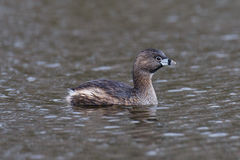 Pied-billed Grebe on the water Royalty Free Stock Images