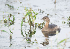 Pied-billed Grebe on water Royalty Free Stock Photo