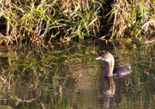 Pied Billed Grebe Royalty Free Stock Photo