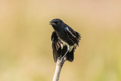 Pied Bush Chat perched Royalty Free Stock Images