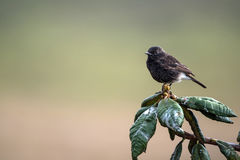 Pied bush chat or Saxicola caprata Royalty Free Stock Image