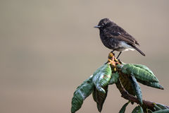 Pied bush chat or Saxicola caprata Royalty Free Stock Photos