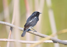 Pied Bush Chat (Saxicola caprata) Stock Photos