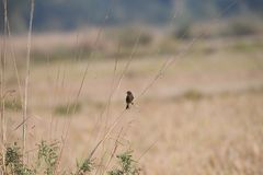 Pied bush chat is a small passerine bird, looking out for insect prey. Pied Bush Chat Saxicola caprata - Natural habit of perching on at the top of short thorn stock image