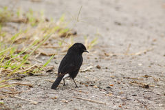 Pied Bushchat. The pied bush chat (Saxicola caprata) is a small passerine bird found ranging from West Asia and Central Asia to the Indian subcontinent and Stock Photography