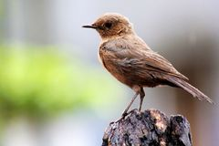 Pied Bushchat. The Pied Bush Chat is a small passerine bird found ranging from West Asia and Central Asia to the Indian subcontinent and Southeast Asia Royalty Free Stock Photo