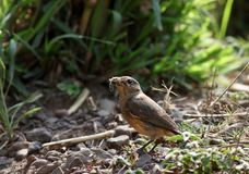 Pied bushchat female Royalty Free Stock Images