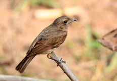 Pied bushchat female Stock Photography