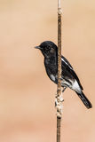 Pied Bushchat perched Stock Image