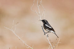 Pied Bushchat perched Royalty Free Stock Image