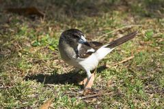 Pied Butcherbird Royalty Free Stock Photography