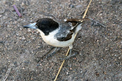 Pied Butcherbird Royalty Free Stock Images