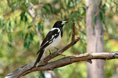 Pied butcherbird male Stock Images