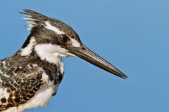 Pied close up. Pied kingfisher, South Africa, close up with blue sky Stock Photos