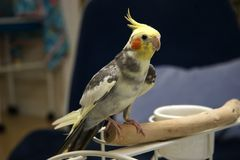 Pied Cockatiel Stock Photo
