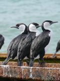 Pied  cormorant Royalty Free Stock Image