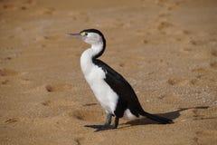 Pied Cormorant Stock Images