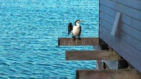Pied cormorant drying wings on busselton jetty. Pied cormorant drying wings on west australia`s busselton jetty stock photo