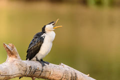 Pied cormorant with open beak. Appears to be talking or yawning. Stock Photos