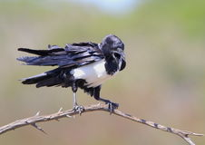 Pied Crow. Photographed in South Africa Stock Photo