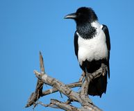 Pied Crow Royalty Free Stock Photo