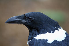 Pied Crow. Widely distributed African bird Royalty Free Stock Photography
