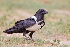 Pied Crow. Photographed in South Africa royalty free stock photography