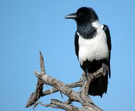 Pied Crow. Stock Photos