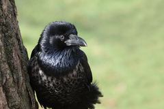 Pied Crow Stock Photo