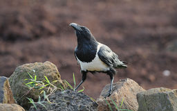 Pied Crow Stock Images