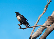 Pied crow on branch Royalty Free Stock Photo