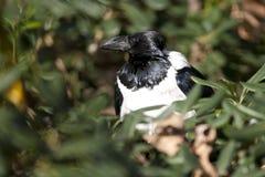 Pied Crow (Corvus Albus) Royalty Free Stock Image