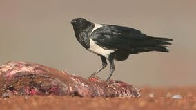 Pied crow, Corvus albus stock video footage