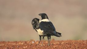 Pied crow, Corvus albus stock video