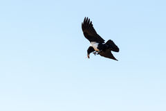 The pied crow. (Corvus albus) catching a locust in mid-air in Madagascar Royalty Free Stock Image