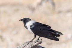 Pied crow, Corvus albus, on a dead tree branch Stock Image