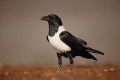 Pied crow, Corvus albus. Single bird on ground, South Africa, August 2016 Stock Photography