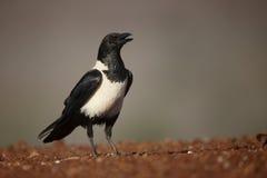 Pied crow, Corvus albus Stock Photo