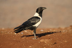 Pied crow, Corvus albus. Single bird on ground, South Africa, August 2016 Royalty Free Stock Photography