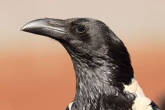 Pied crow, Corvus albus. Single bird head shot, South Africa, August 2016 Royalty Free Stock Images