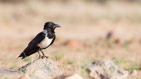 Pied crow (corvus albus). In the Sossusvlei, Namibia Royalty Free Stock Photography