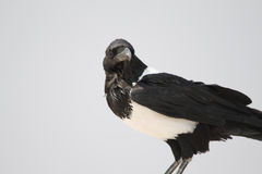 Pied Crow Stock Photo