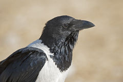 pied crow. Royalty Free Stock Photos
