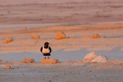 Pied crow in namib desert Stock Image