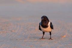 Pied crow in namib desert Royalty Free Stock Photos