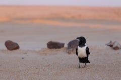 Pied crow in namib desert Royalty Free Stock Photo