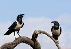 Free Pied Crow Pair Royalty Free Stock Photo - 19707825