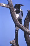 Pied Crow Royalty Free Stock Images